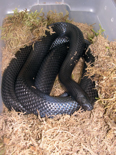 Black Milk Snake Facts...