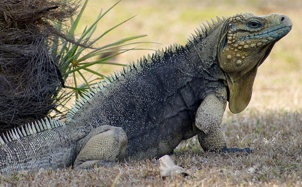 Cuban Rock Iguana Facts And Pictures