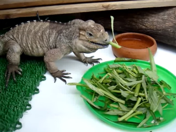 Rhinoceros Iguana Facts and Pictures