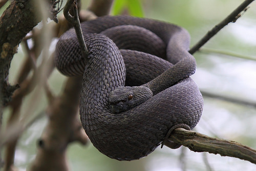 Shore Pit Viper Facts and Pictures
