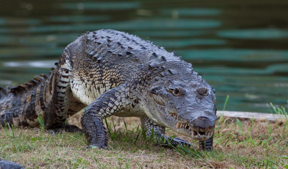 Cá sấu mỏ nhọn - Crocodylus moreletii