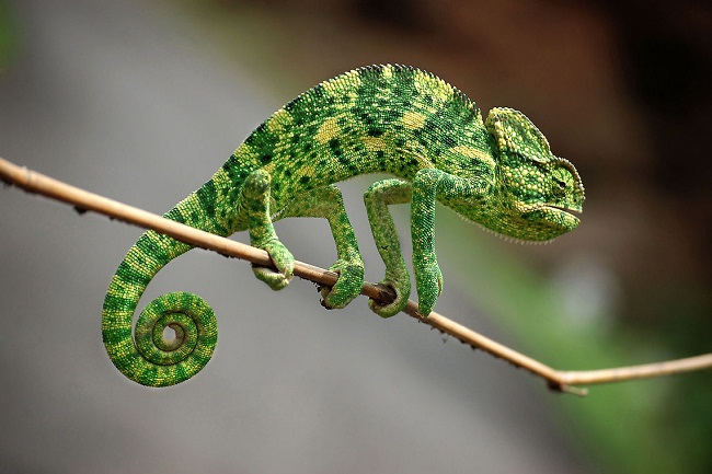 Indian Chameleon Facts And Pictures Reptile Fact