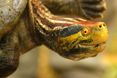 Red Crowned Roof Turtle Facts And Pictures