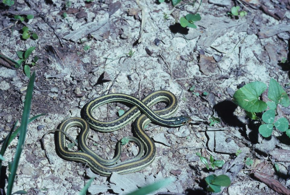 Western Ribbon Snake Facts And Pictures
