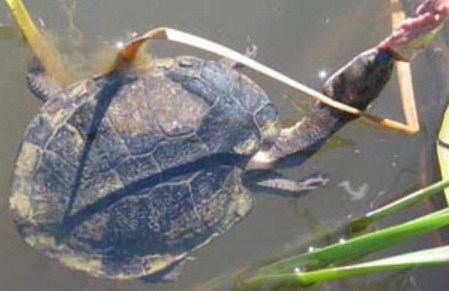 Eastern Long Neck Turtle Facts And Pictures