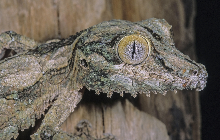 mossy leaf tailed gecko facts and pictures
