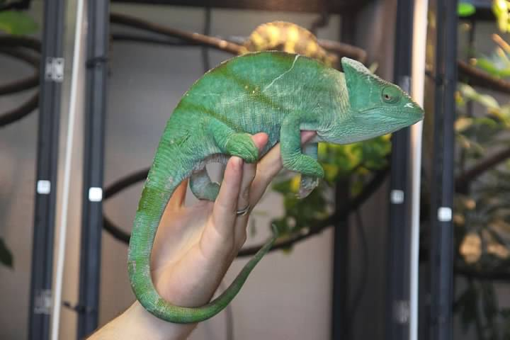 Parson S Chameleon Facts And Pictures