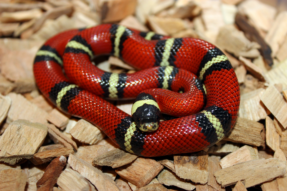 Sinaloan Milk Snake Facts And Pictures