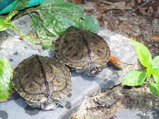 Mississippi Map Turtle Size Mississippi Map Turtle Facts and Pictures