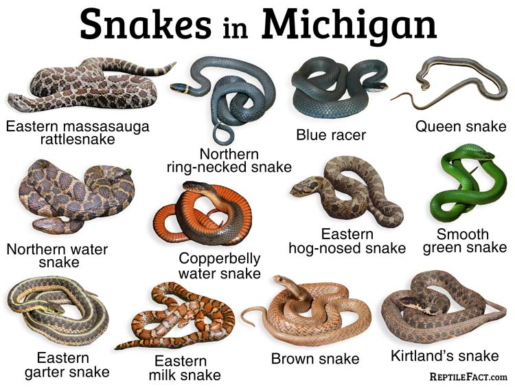 List of Common Types of Snakes Found in Michigan
